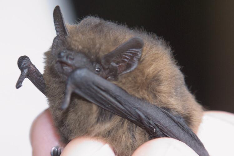 Pipistrelle bat   (Drahkrub CC BY-SA 4.0 via Wikimedia Commons)